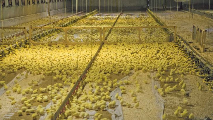 تایید سلامت برای جوجه ریزی و کشتار مرغ ضروری است