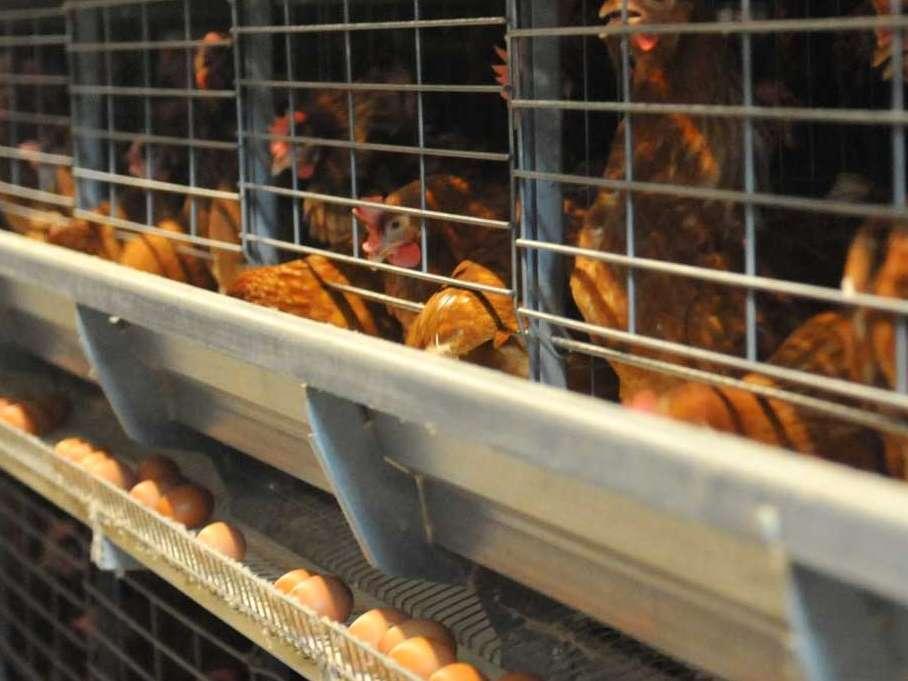 تولید تخم مرغ با ضرر هنگفت