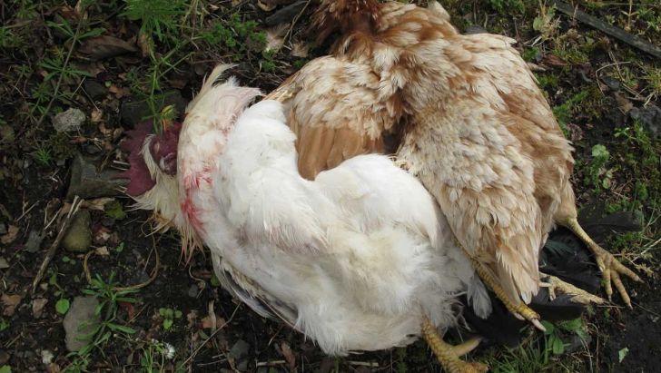 نیوکاسل، 180هزار مرغ گوشتی در قم را تلف کرد