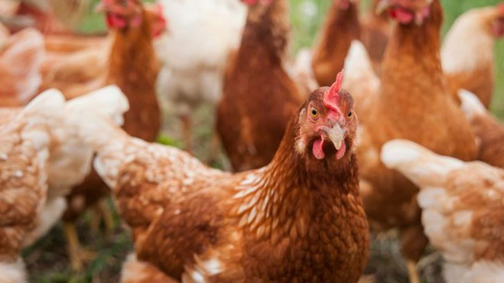 مرغ هایی به عنوان جایگزین نژادهای طیور دیگر