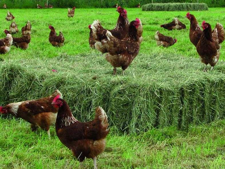 آنچه از مرغ و تخم مرغ ارگانیک باید بدانید