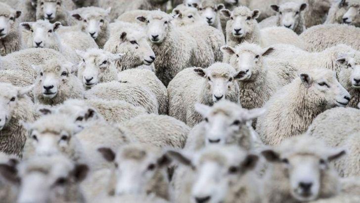 صادرات دام زنده در برابر واردات گوشت قرمز ارزان