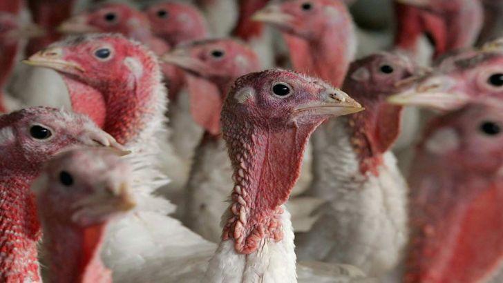 تولید ۱۶ تن گوشت بوقلمون در ساری