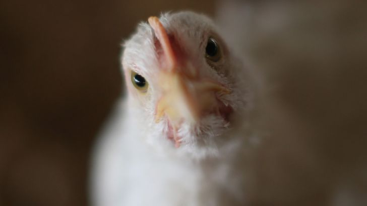 مرغداران اوکراینی از تقاضای چین برای واردات بهره مند می گردند!