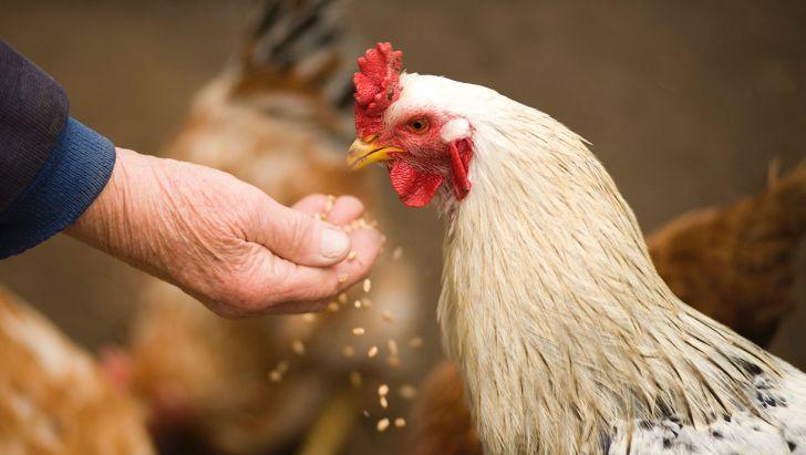تهیه ذرت برای مرغداران مشکلساز شده است
