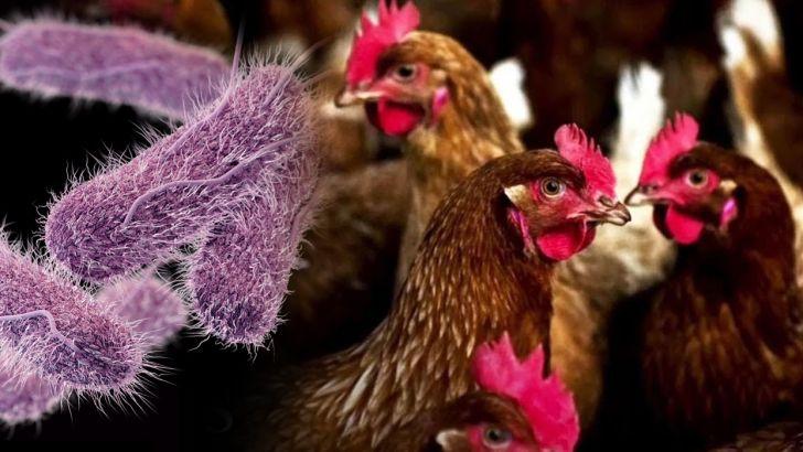مرغداری ها و تولیدات مرغداری منبع سالمونلا و اس اورئوس