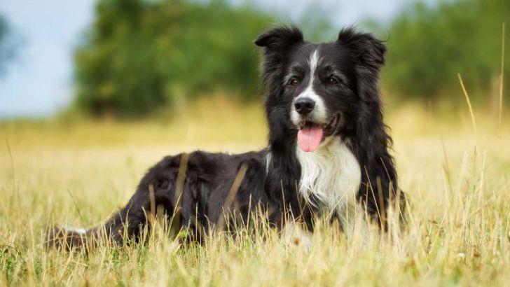 بهترین سگ ها برای کار در مزرعه