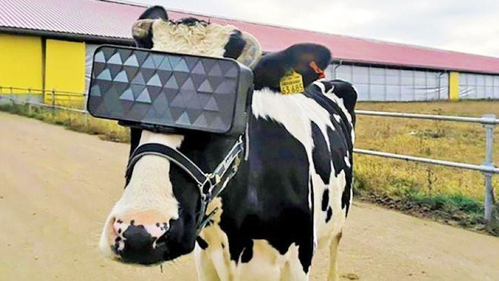 روش عجیب برای تولید شیر بیشتر