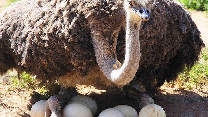 تولید 13700 عدد تخم شترمرغ در واحدهای پرورشی