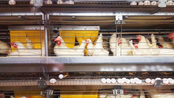 گلههای مرغ تخمگذار پایان دوره غیرواکسینه باید سریعتر حذف شود