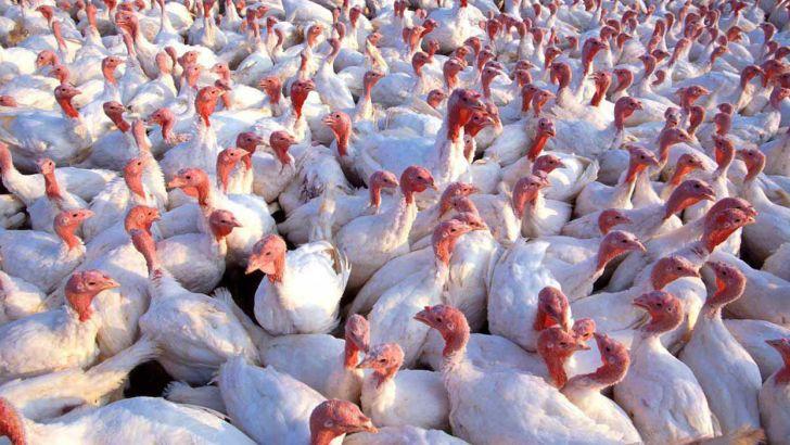 تولید سالانه بیش از ۱۱۰۰ تن گوشت بوقلمون