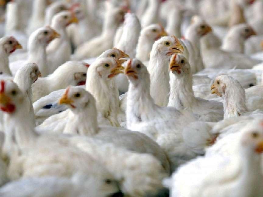 مرغ تولیدی در کردستان تضمینی خریداری میشود