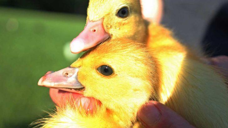 گوشت اردک رقم صادرات طیور روسیه را افزایش داده است