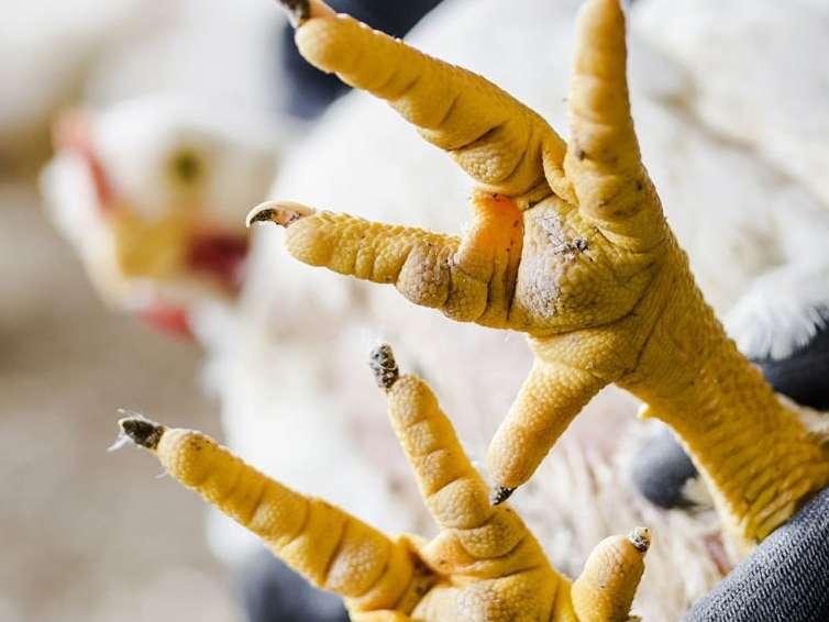 عارضۀ زخم های کف پا در مرغ ها