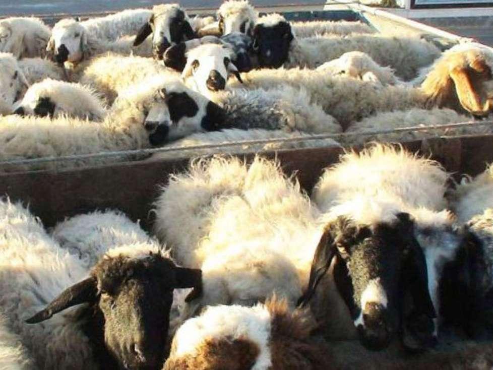 تکذیب ادعای صادرات گوشت قرمز و دام زنده