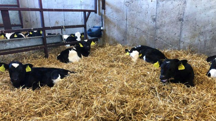 علت سقط جنین در گاوها