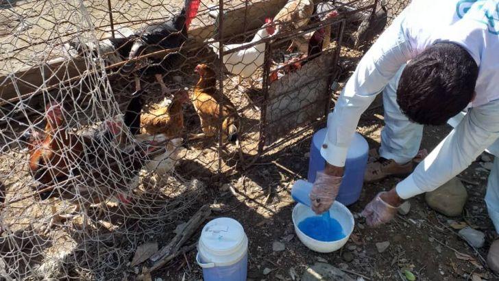 ایمنسازی طیور علیه آنفلوآنزای فوق حاد پرندگان