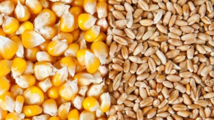 افزایش شدید قیمت گندم و ذرت در بازارهای جهانی
