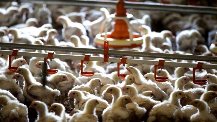 بی اثر بودن خرید شرکت پشتیبانی امور دام با افزایش سن مرغ های زنده