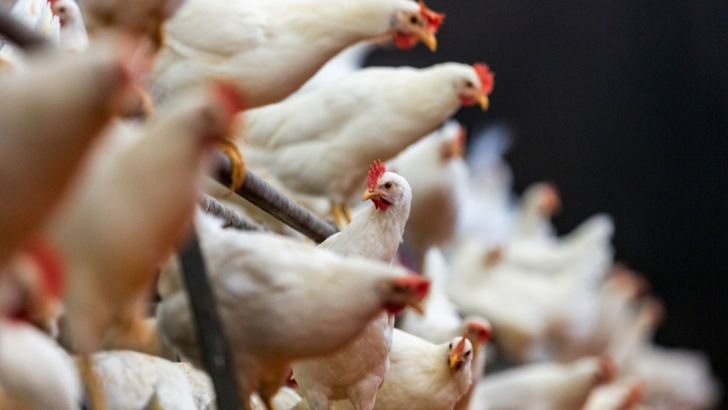 برای نجات صنعت مرغداری، تشکلها مباشر خرید میشوند