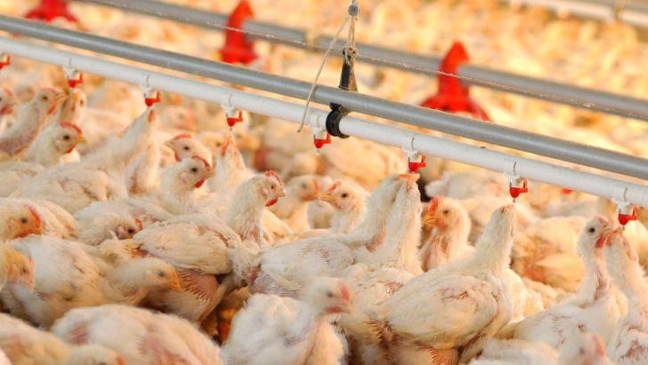 ضرورت حمایت بخش دولتی از تولیدکنندگان مرغ