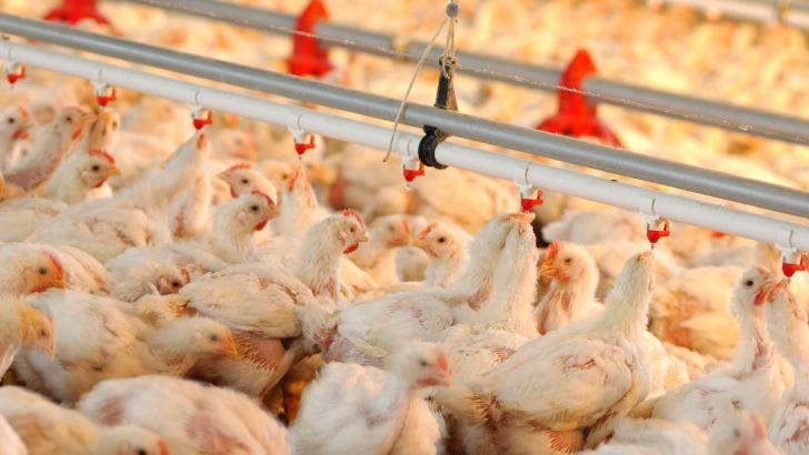 صادرات گوشت مرغ زمینه جدید تجارت کرمان و افغانستان خواهد بود