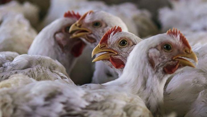خسارت سنگین کرونا به مرغداران آذربایجان شرقی