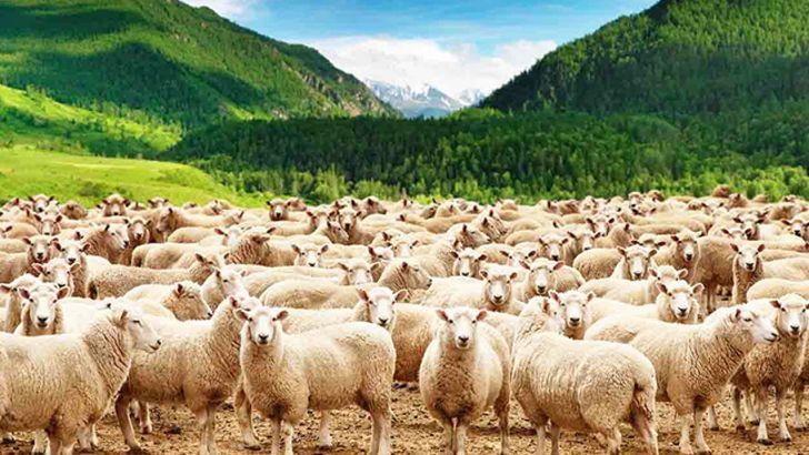 گوسفند زنده را آنلاین اما ارزان بخرید