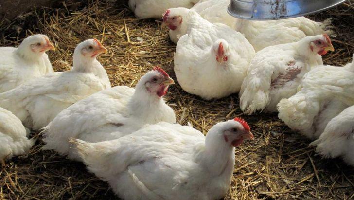 چالش تامین نهاده دامی پیش روی مرغداران