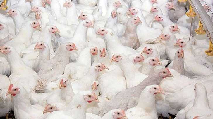 برنامه ریزی برای تولید ۳۰۰ هزار تن مرغ در گلستان