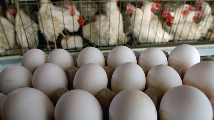 ۷ استان کشور از از پرتراکمترین واحدهای مرغ تخمگذار دنیا هستند