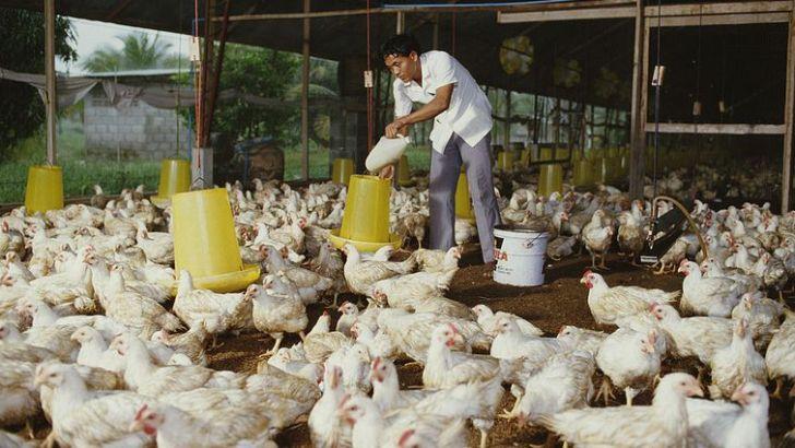 مرغداران در به در تأمین نهادهها در بازار آزاد