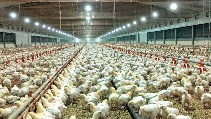 آینده تاریک صنعت مرغداری