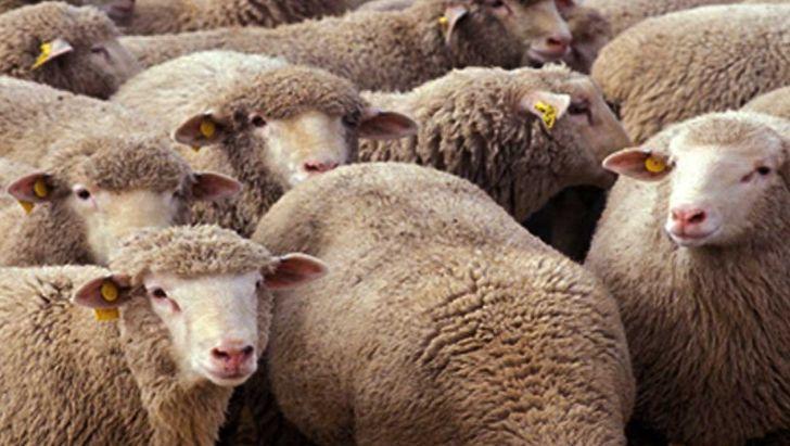 چگونه از طریق سایت دامکالا گوسفند زنده سالم را خریداری کنیم؟