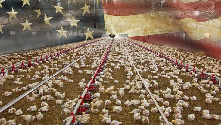صنعت مرغ گوشتی امریکا با وجود کووید 19