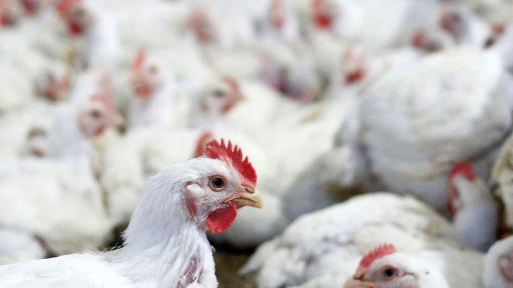 افزایش قیمت مرغ به معدومسازی جوجههای یکروزه ارتباط دارد