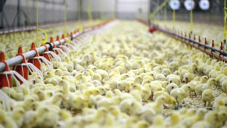 تولید جوجه یکروزه به ۹۵ میلیون قطعه باید کاهش یابد