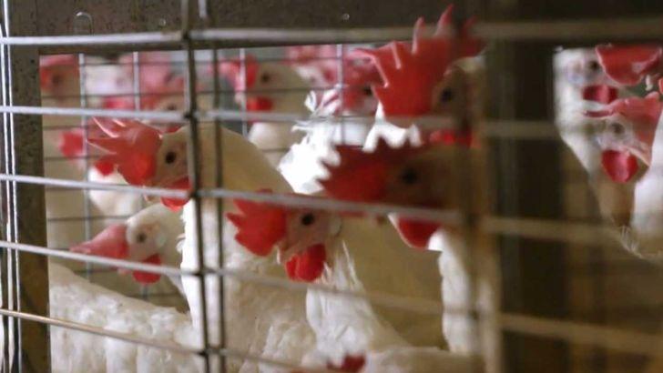 چالش تولیدکنندگان مرغ عدم تامین نهاده های دامی است