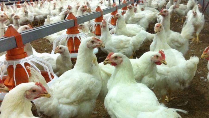اختصاص یارانه به تولیدکنندگان مرغ، قیمت این کالا را کنترل میکند