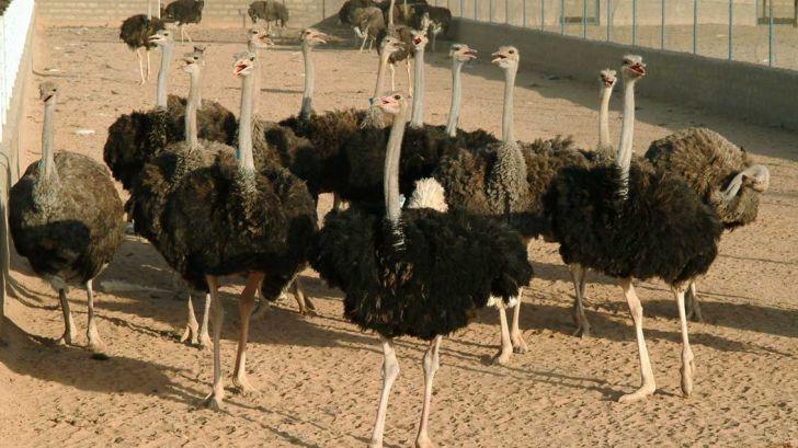 شتر مرغ؛ پرسودترین فعالیت بخش کشاورزی و دامی