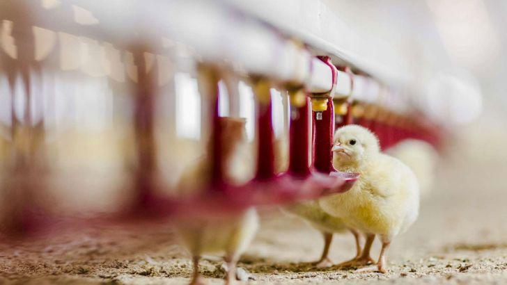 بسیاری از مرغداران اشتیاقی به جوجهریزی ندارند