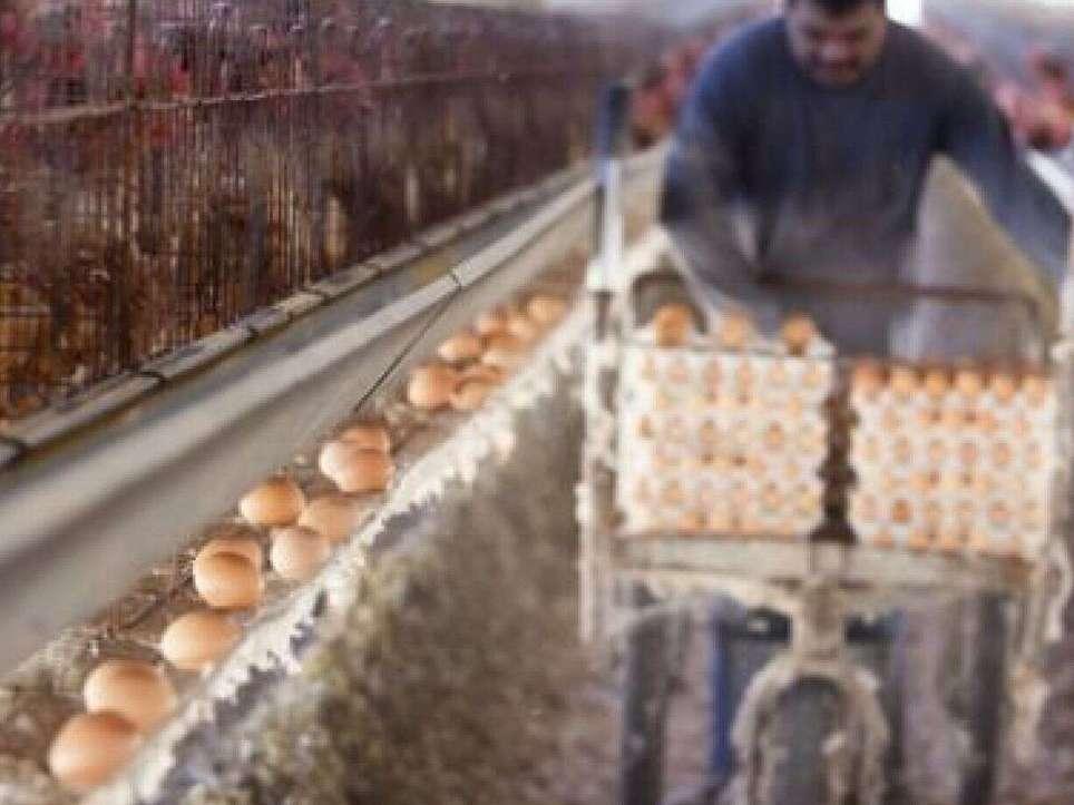 عوارض صادراتی تخم مرغ تعیین شد