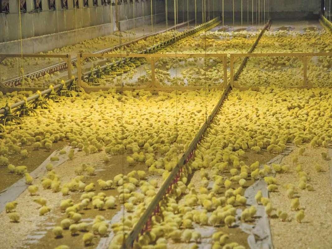 مرغداران در جوجهریزی احتیاط میکنند