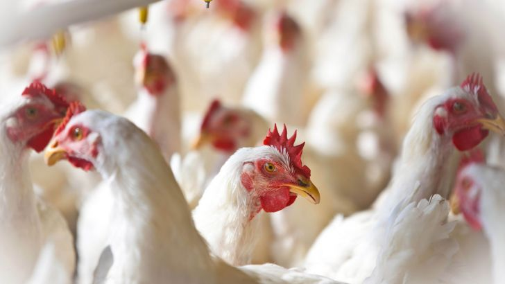 مافیای واردات، پشت پرده بلاتکلیفی صنعت مرغداری