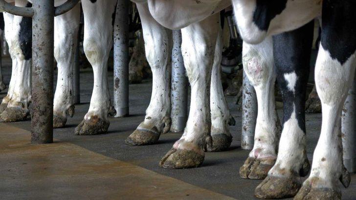 ژنتیک، عامل اولیۀ بیماری های مربوط به سُم در گاوها