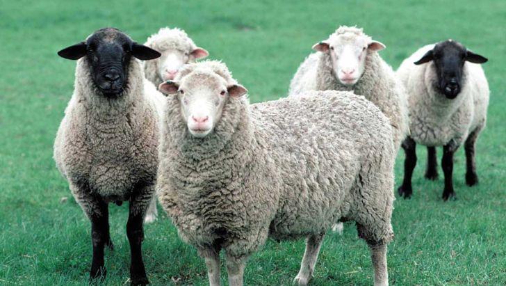 ایجاد گلههای گوسفند و بز چندقلوزا با اصلاح نژاد دامی