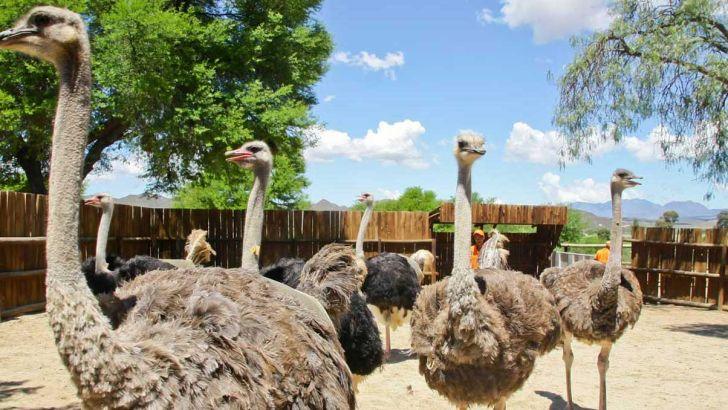 ظرفیت پرورش شتر مرغ در استان مرکزی به ۳۸ هزار و ۵۰۰ قطعه افزایش یافت