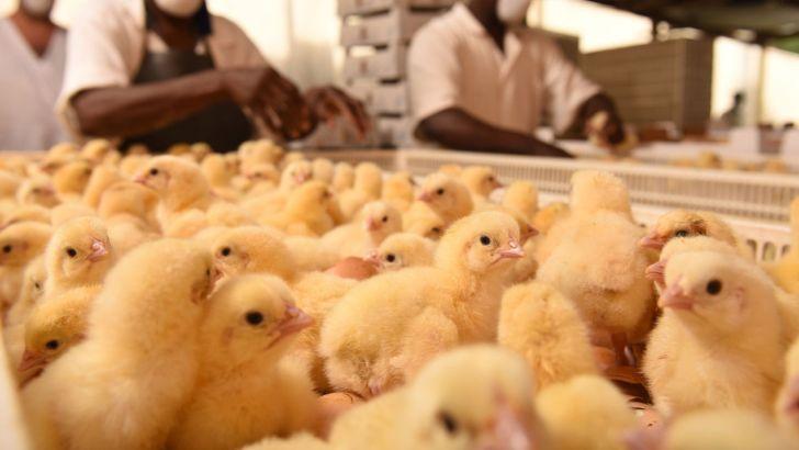 زیان تولیدکنندگان جوجه یکروزه به ۱۸۰ میلیارد تومان رسید