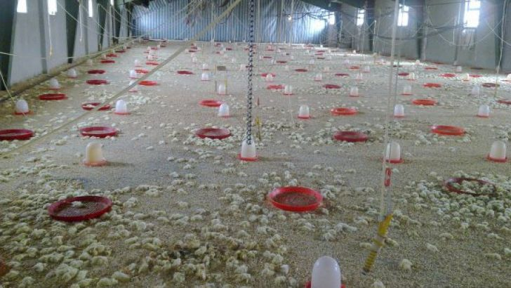 واحدهای مرغداری نیمهفعال یا راکد به چرخه تولید بر میگردند؟