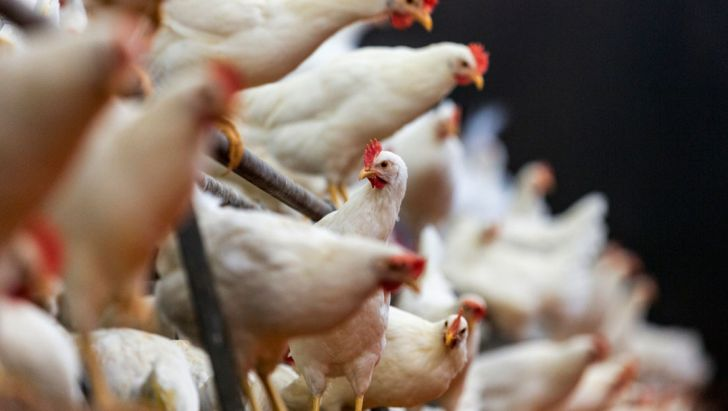 شناسایی ۱۰۰۰ نقطه کانون بیماری آنفلوآنزای فوق حاد پرندگان در کشور